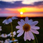 Обои Ромашки на фоне заката, фотограф Nilgun KanД±k