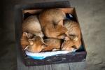 Обои Четыре рыжих котенка спят в ящике из шкафа