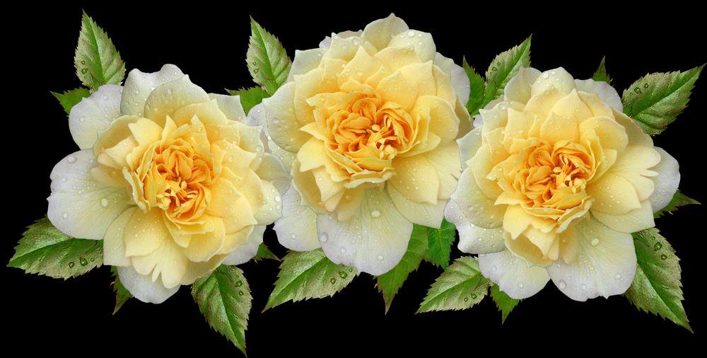 Обои для рабочего стола Желтые розы и зеленые листья на темном фоне, by Beverly Buckley