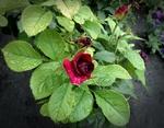 Обои Бордовая роза в капелях воды в листве