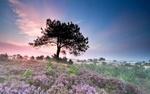 Обои Цветочная поляна вереска на фоне одинокого дерева