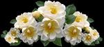 Обои Дикие белые розы, зеленые листья, темный фон, by Beverly Buckley