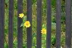 Обои Изгородь с желтыми цветами, летний этюд, by Erwin Nowak