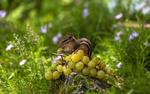 Обои Бурундук ест зеленый виноград, сидя на камне среди травы, фотограф Антонина Яновска