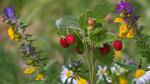 Обои Веточка лесной клубники среди полевых цветов, фотограф Valentin I S