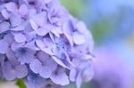 Обои Соцветие сиренево-голубой гортензии