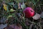 Обои Красное яблоко в траве