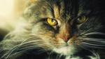 Обои Хмурый кот с желтыми глазами