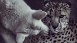 Обои Полярный волк выкусывает шерсть гепарду