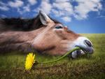 Обои Лежащая на земле лошадь пытается перекусить зубами стебель цветка одуванчика