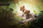 Обои Котята гепарда отдыхают на природе
