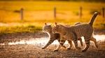 Обои Пара полосатых кошек куда-то бежит по грунтовой дороге