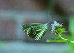 Обои Зеленая бабочка на цветке на размытом фоне