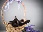Обои Черный котенок в корзинке, рядом ветка искусственных цветов сирени