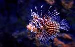 Обои Тропическая рыбка - крылатка зебра в синей воде, фотограф fyb