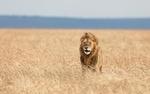 Обои Лев стоит в саванне среди травы