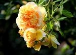 Обои Желтые кустовые розы на размытом фоне
