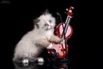 Обои Голубоглазый котенок со скрипкой / Скрипач, фотограф Надежда Иванова