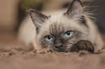 Обои Сиамский котенок лежит с грустным взглядом