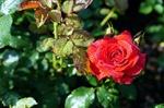 Обои Алая роза в каплях воды на размытом фоне