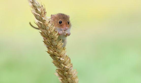 Мышь-малютка на колоске с зернышком в маленьких лапках