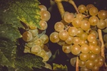 Обои Янтарная виноградная гроздь, начало осени, by Ilona