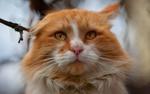 Обои Бело-рыжая кошка крупным планом