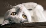 Обои Кот смотрит в объектив вверх ногами