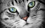 Обои Мордочка кота крупным планом