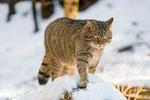Обои Дикий лесной кот идет по снегу