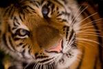 Обои Морда тигра крупным планом