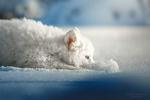 Обои Белый щенок уткнулся носом в снег, фотограф Оксана Серова