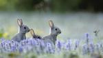 Обои Три кролика на лавандовом поле