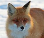 Обои Лиса стоит зимой и смотрит в камеру, фотограф Шангареев Марс