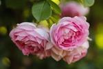 Обои Чайная розовая роза на размытом фоне