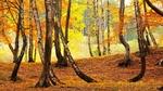 Обои Березова роща во время осеннего листопада