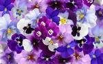 Обои Фон из цветов - анютины глазки