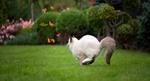Обои Кошка в прыжке за бабочками, by Koc Pol Cat