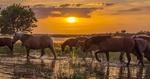 Обои Табун лошадей идет по воде на закате дня, фотограф Сергей Цыбизов