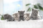 Обои Маленькие серые котята. Фотограф Konstantin Burkin