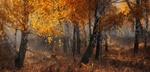Обои Березовая роща осенью, фотограф marateaman