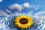 Обои Цветок подсолнуха на воде в концентрических кругах, на фоне отражения синего неба и облаков, by Gerd Altmann
