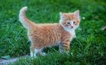 Обои Маленький рыжий котенок гуляет по зеленой траве