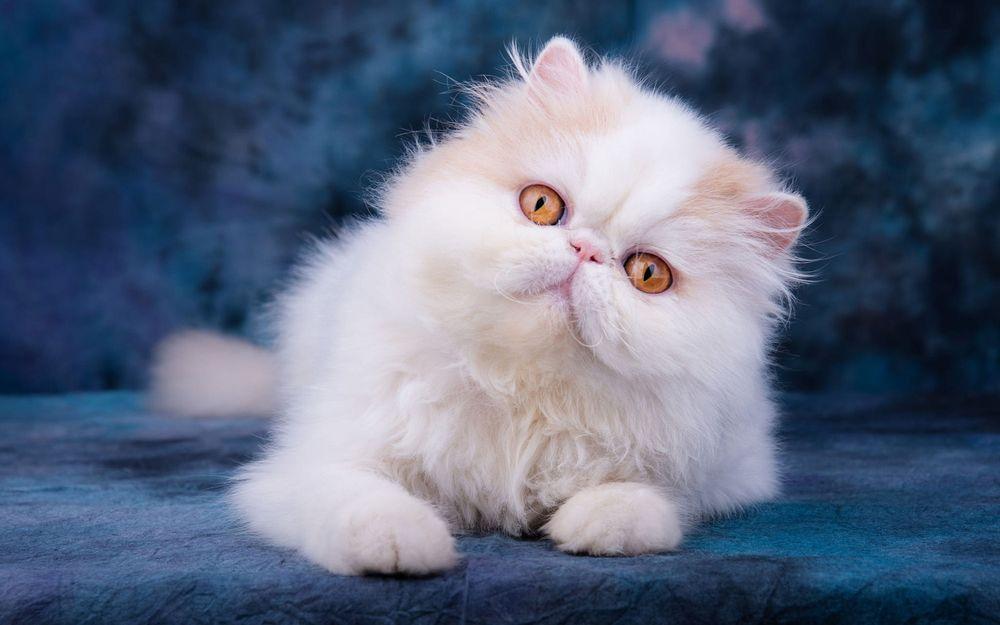 Обои для рабочего стола Белая кошка с желтыми глазами