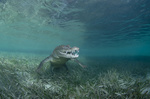Обои Крокодил под водой, фотограф Дмитрий Старостенков