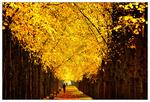 Обои По аллее осенних деревьев идет мужчина