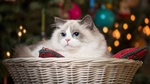 Обои Милый котик с голубыми глазками лежит на подушке в корзинке