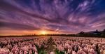 Обои Закат солнца над тюльпанным полем