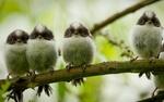 Обои Четыре птички на ветке