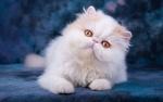 Обои Белая кошка с желтыми глазами